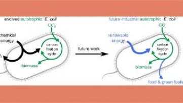 Carbon Sequestration through E. Coli