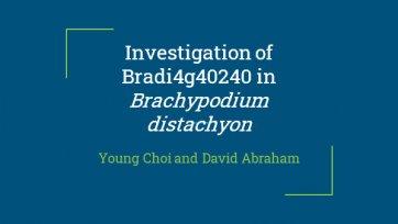 Investigation of Bradi4g40240 in Brachypodium distachyon